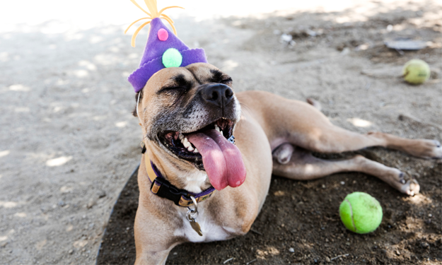 cancer survivor birthday 3 legged pittie mix